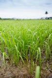 Il riso è un bello verde Immagini Stock