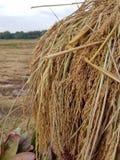 Il riso è vita immagini stock