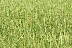 Il riso Fotografia Stock
