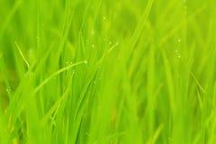 Il riso con goccia del risone dell'acqua sistema di mattina immagine stock