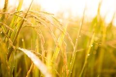 Il riso del gelsomino in azienda agricola è pronto a più havest Fotografie Stock Libere da Diritti