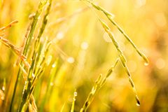 Il riso del gelsomino in azienda agricola è pronto a più havest Fotografia Stock Libera da Diritti