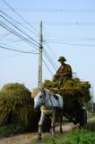 Il riso del raccolto Fotografia Stock