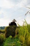 Il riso del raccolto Immagini Stock Libere da Diritti
