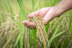 Il riso della tenuta della mano dell'agricoltore dell'agricoltura semina il primo piano immagini stock libere da diritti