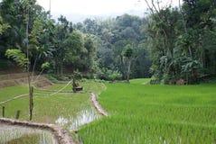Il riso di coltivazione vita della risaia di cultura dello Sri Lanka Immagini Stock Libere da Diritti