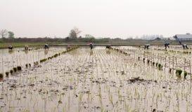 Il riso di trasferimento dei coltivatori germoglia al campo arato Immagini Stock