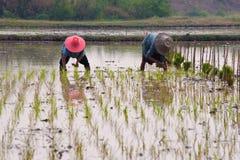 Il riso di trasferimento dei coltivatori germoglia al campo arato Fotografia Stock Libera da Diritti