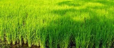 Il riso di verde della risaia di coltivazione del riso ansima la risaia Fotografia Stock Libera da Diritti