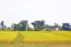 Il riso dorato che brilla è ordinato piantato e pronto a raccogliere fotografia stock libera da diritti