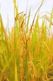 Il riso dorato che brilla sta venendo fino al raccolto in breve Fotografia Stock Libera da Diritti
