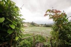 Il riso ha archivato il terrazzo nella stagione del raccolto alla parte settentrionale di Thailan Immagine Stock Libera da Diritti