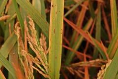 Il riso lascia la malattia nello stato adeguato per l'agente patogeno, alta umidità Fotografie Stock