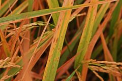 Il riso lascia la malattia nello stato adeguato per l'agente patogeno, alta umidità Fotografia Stock