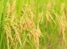 Il riso maturo nei campi Immagini Stock Libere da Diritti