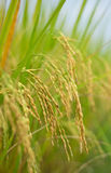 Il riso maturo nei campi Immagini Stock