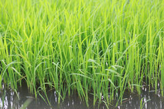 Il riso nel campo Immagine Stock