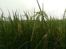 Il riso shish Fotografie Stock Libere da Diritti