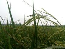 Il riso shish Fotografia Stock