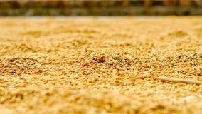 Il riso si asciuga sul tetto largamente Fotografia Stock