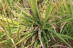 Il riso si sviluppa nel campo Un'azienda agricola del riso e un'agricoltura asiatiche organiche, Hampi, India Immagini Stock