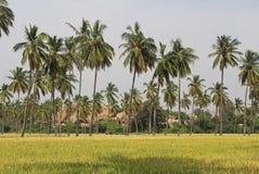 Il riso si sviluppa nel campo Un'azienda agricola del riso e un'agricoltura asiatiche organiche, Hampi, India Fotografia Stock