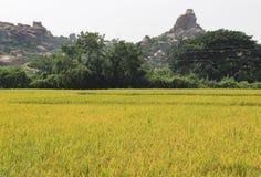 Il riso si sviluppa nel campo Un'azienda agricola del riso e un'agricoltura asiatiche organiche, Hampi, India Immagine Stock Libera da Diritti