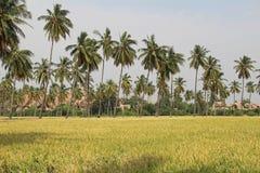 Il riso si sviluppa nel campo Un'azienda agricola del riso e un'agricoltura asiatiche organiche, Hampi, India Immagine Stock