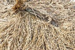 Il riso sta asciugandosi Immagine Stock Libera da Diritti