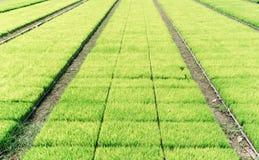 Il riso verde germoglia sul vassoio di plastica nel modello del rotolo Fotografia Stock Libera da Diritti