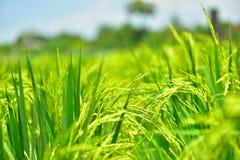 Il riso verde nei precedenti del riso del campo Fotografia Stock
