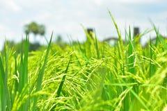 Il riso verde nei precedenti del riso del campo Immagine Stock Libera da Diritti