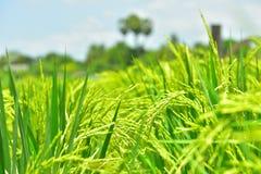 Il riso verde nei precedenti del riso del campo Fotografie Stock