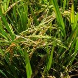 Il riso verde nel riso del campo Fotografia Stock Libera da Diritti