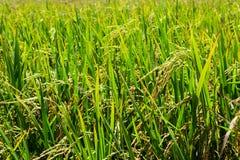 Il riso verde nel riso del campo Fotografie Stock Libere da Diritti