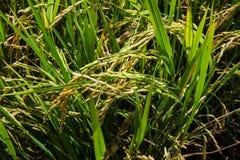 Il riso verde nel riso del campo Fotografia Stock