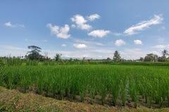Il riso verde ricco ha fatto un passo campi Terrazzi tradizionali del riso di balinese Giungle al contesto immagine stock
