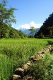 Il riso verde sistema il paesaggio Immagini Stock
