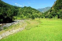 Il riso verde sistema il paesaggio Immagine Stock