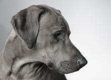 Il ritratto del cane Fotografia Stock