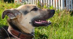 Il ritratto del cane Fotografie Stock