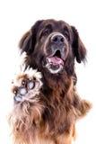 Il ritratto del cane di Berner Sennenhund dice ciao Immagine Stock Libera da Diritti