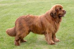 Il ritratto del cane di marrone di Terranova Immagine Stock