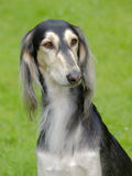 Il ritratto del cane di Saluki Fotografia Stock Libera da Diritti