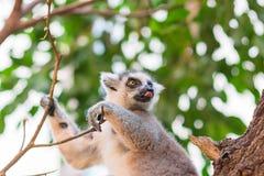 Il ritratto del catta delle lemure delle lemure catta allunga fuori la sua lingua Fotografia Stock