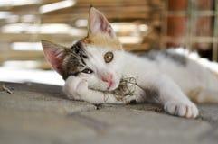 Il ritratto del gatto Fotografie Stock