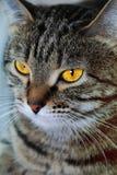 Il ritratto del gatto con gli occhi gialli Fotografia Stock Libera da Diritti
