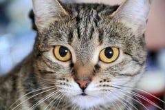Il ritratto del gatto con gli occhi gialli Fotografie Stock Libere da Diritti