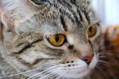 Il ritratto del gatto con gli occhi gialli Immagine Stock Libera da Diritti