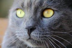 Il ritratto del gatto con gli occhi gialli Fotografia Stock